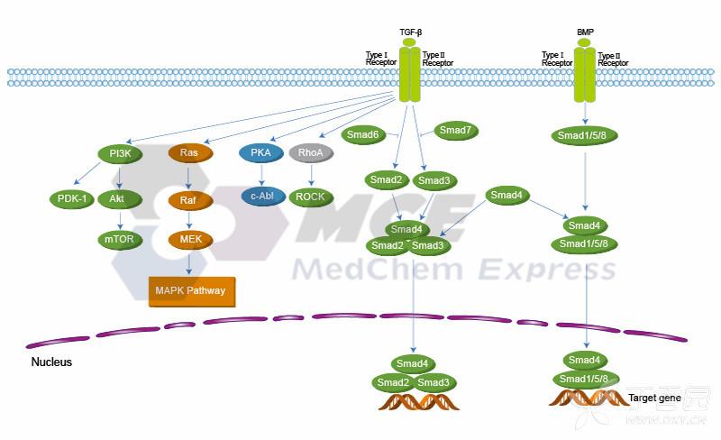 一、TGF-beta/Smad 相关靶点   PKC、ROCK、TGF-beta/Smad、TGF- Receptor   二、TGF-beta/Smad 概述   TGF 超家族包括 TGF s、骨形态发生蛋白 (BMPs)、activins 及相关蛋白。这些蛋白质主要是通过它们在发育中的作用来确定的;它们通过对细胞增殖、分化和迁移的影响来调节人体计划和组织分化的建立。有八脊椎动物 Smads: Smad1 到 Smad8。Smad2 和 Smad3 是由 TGF b 和激活受体 TbRI 和